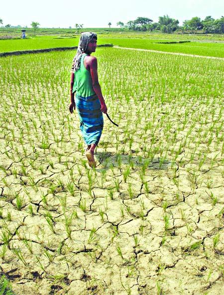 Une rizière complètement à sec. Photo tirée du quotidien New Age, édition du 27 juillet 2009
